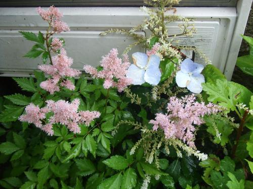 アスチルベと紫陽花