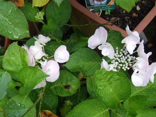 カメレオン紫陽花