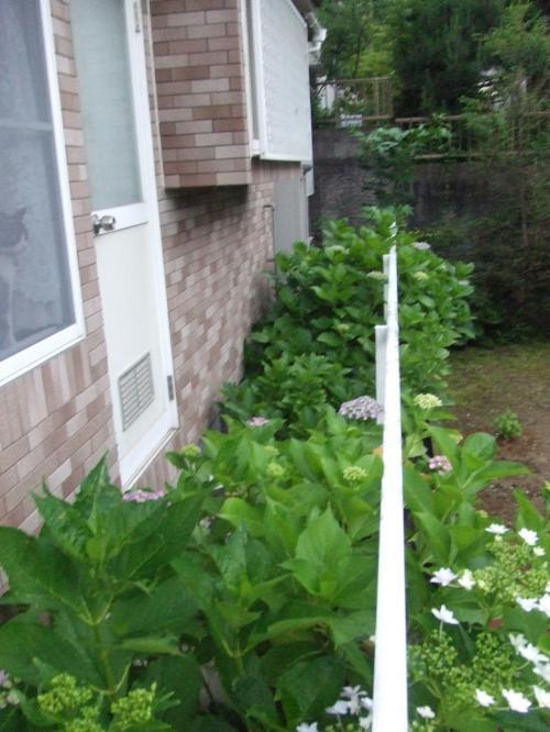 ほぼ紫陽花の裏庭 通路は葉っぱだらけで 通れんな~