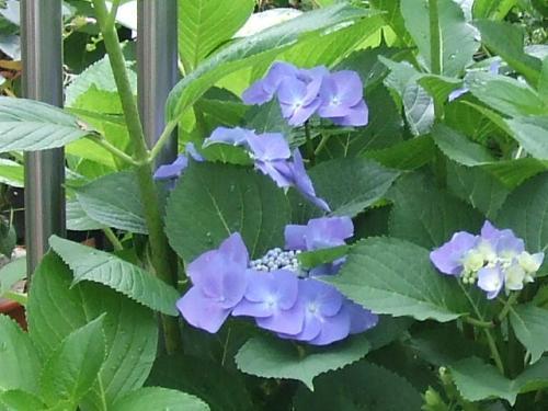 ガク紫陽花さん