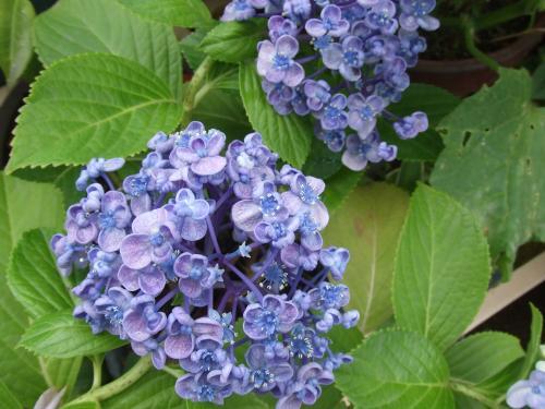 実家のおたふく紫陽花