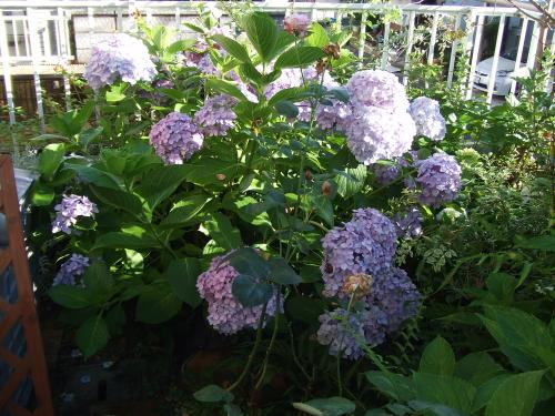 お庭の紫陽花さん
