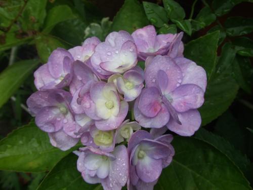 挿し木の紫陽花さん