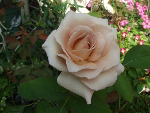 返り咲き バラさん
