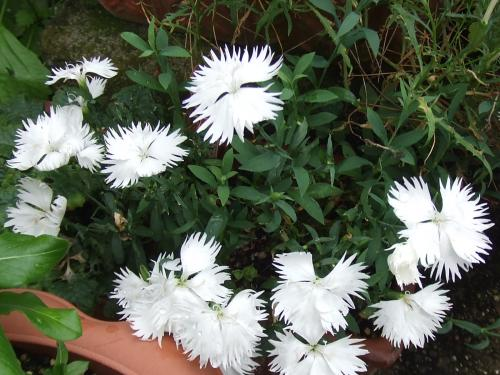 白の撫子さん開花