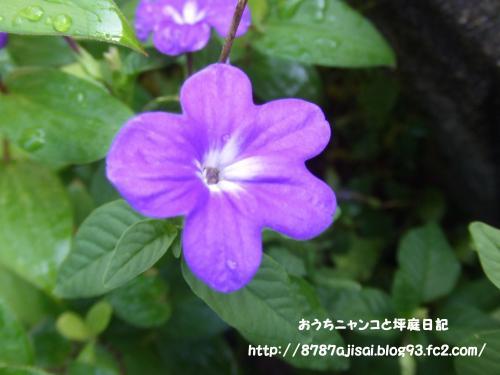 青い花・・・あれ 忘れた どっかにあるよね・・・