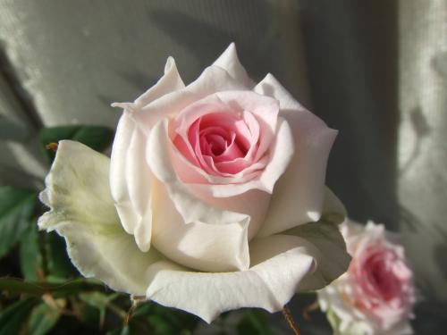 ミミエデンのバラ開花~
