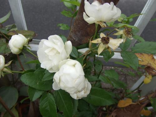 ウイットのバラまだ咲いてる・・・