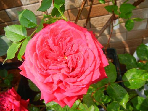 鉢植え挿し木のバラ