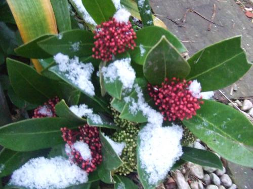 雪がかかるシキミアさん