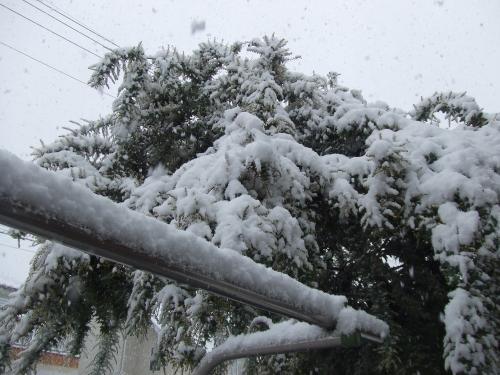 雪ゴジラなミモザ