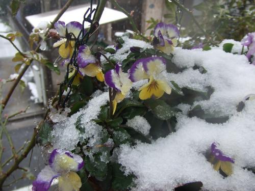 雪の日のビオラちゃん