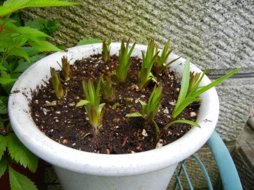 ゆりねの芽