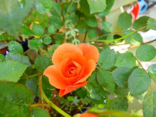 鉢植え ミニバラ・テディベア