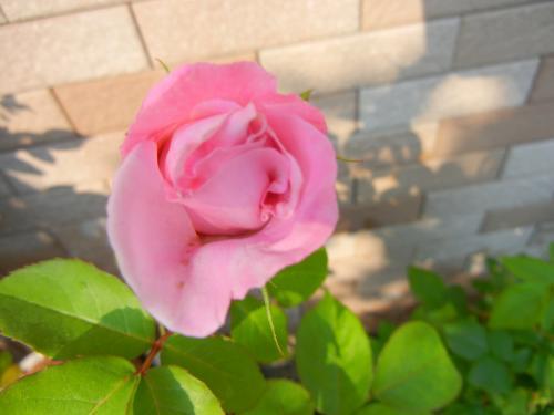 貝桜ちゃん 鉢植え