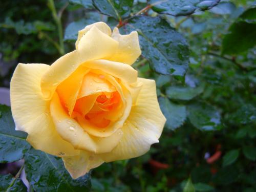 キムノブ父挿し木のバラ