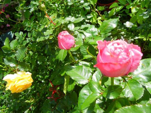 ルノアールさんと挿し木の黄色のバラ