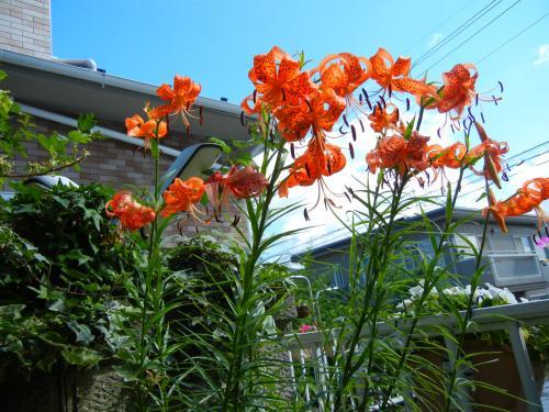 ゆり根の花