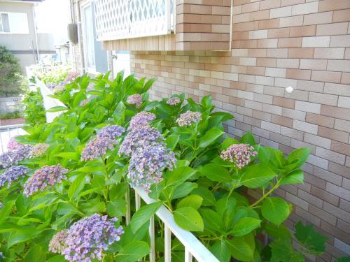裏の紫陽花