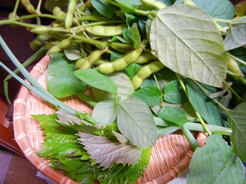 収穫黒豆枝豆^^
