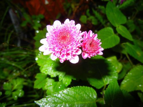 お庭の小菊ちゃん