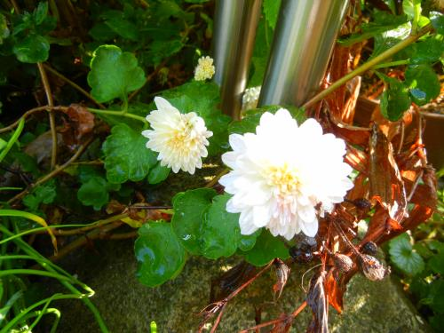 放置で開花の白菊ちゃん