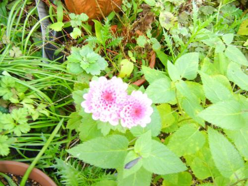 放置で咲いてる菊ちゃん