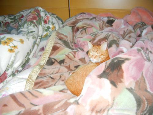 毛布で一緒に寝てる茶とらん