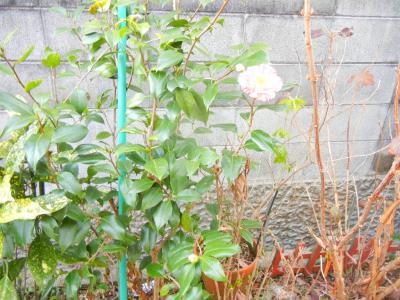 挿し木の椿さん