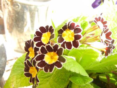 黒花プリムラちゃん