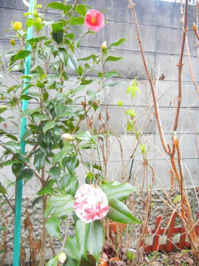 1本の木で 2色が咲きます。