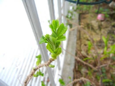 浜茄子の芽