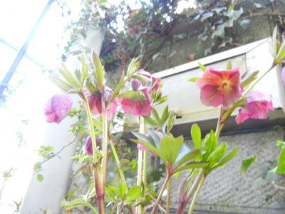 鉢植えのクリローちゃん