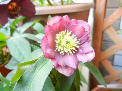 鉢植えの八重の赤