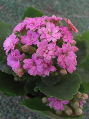 カランコエピンク八重咲き