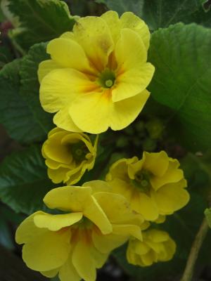 プリムラ・ポリアンサ黄色八重咲き