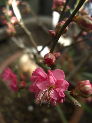 寒紅梅ピンク八重咲き