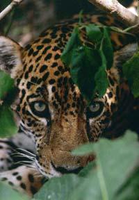zoom!jaguarpeek.jpg
