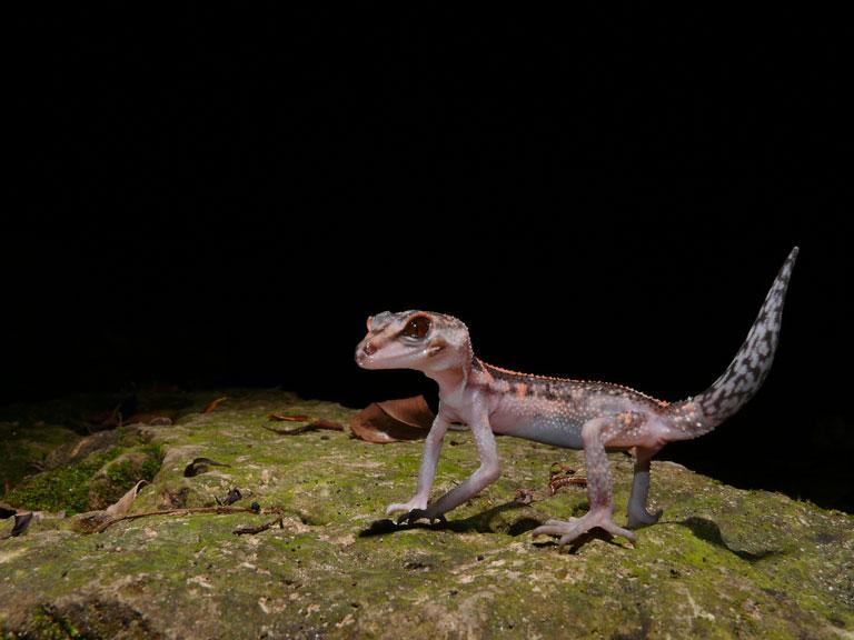 Goniurosaurus kuroiwae kuroiwae