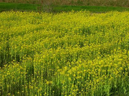 飛鳥 菜の花畑
