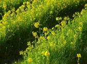 飛鳥 菜の花畑2