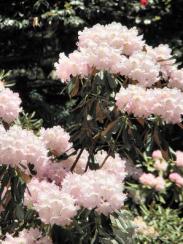 室生寺の石楠花
