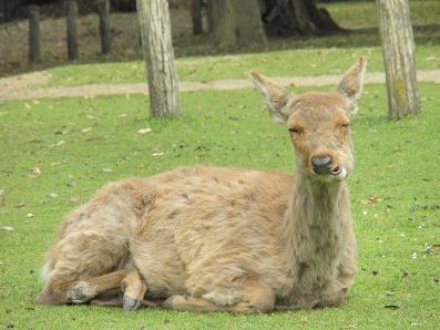 奈良公園の鹿③