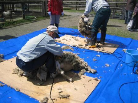 羊毛刈り1