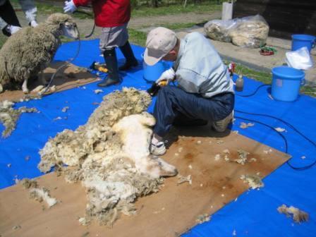 羊毛刈り2