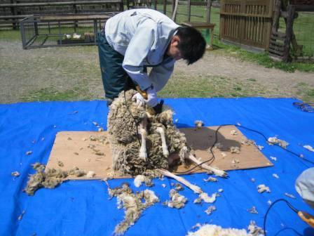 羊毛刈り3