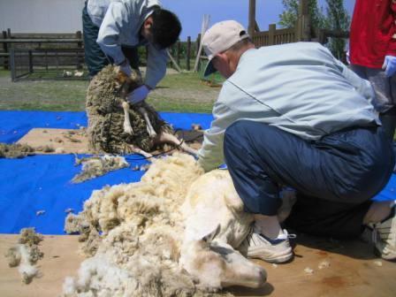 羊毛刈り4