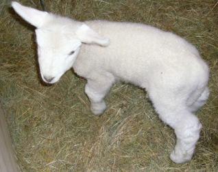 可愛らしい子羊2♪