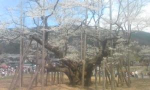 淡墨桜01