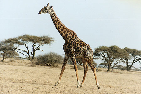 Giraffe_M.jpg